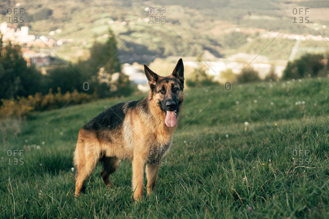 Amazing German Shepherd with its tongue sticking out standing on grass in green meadow on sunny day
