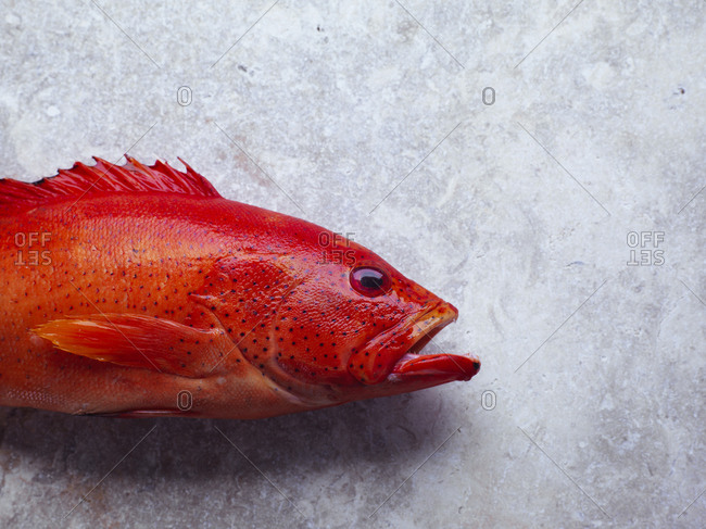 Close-up of a red butter fish head