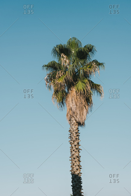 View of a tropical palm tree exposed to direct sunlight in sunset
