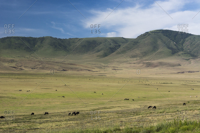 Wildebeest (gnu) (Connochaetes taurinus) and plains zebras (Equus quagga), Ngorongoro Crater, Ngorongoro Conservation Area, UNESCO World Heritage Site, Serengeti, Tanzania, East Africa, Africa