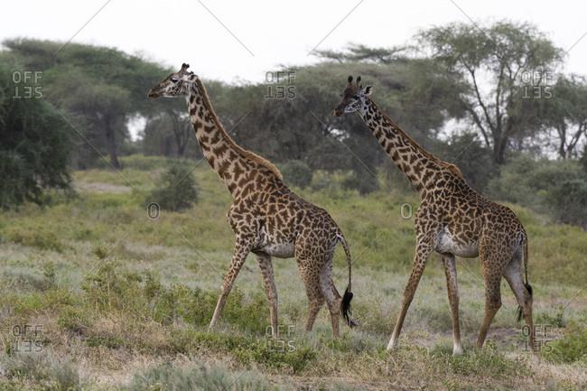 Masai giraffe (Giraffa camelopardalis tippelskirchi), Ndutu, Ngorongoro Conservation Area, Serengeti, Tanzania, East Africa, Africa