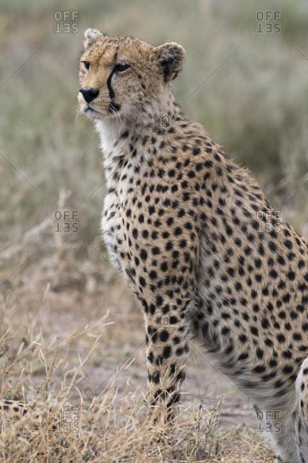 Cheetah (Acinonyx jubatus), Ndutu, Ngorongoro Conservation Area, Serengeti, Tanzania, East Africa, Africa