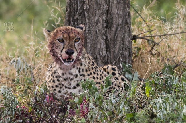 Cheetah (Acinonyx jubatus) with a bloody face after feeding, Ndutu, Ngorongoro Conservation Area, Serengeti, Tanzania, East Africa, Africa