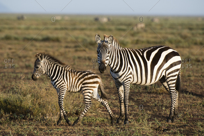 A plains zebra foal (Equus quagga) and its mother, Ndutu, Ngorongoro Conservation Area, Serengeti, Tanzania, East Africa, Africa
