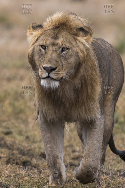 Male lion walking (Panthera leo), Ndutu, Ngorongoro Conservation Area, Serengeti, Tanzania, East Africa, Africa