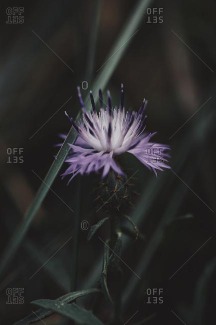 Purple wildflower in bloom