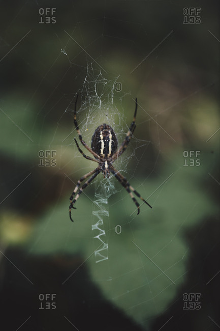 Large orb weaver spider on web