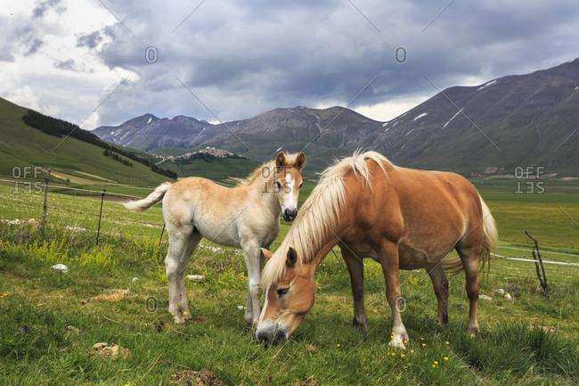 A foal with his mother, Piano Grande of Castelluccio di Norcia, Monti Sibillini national park, Umbria, Italy, Europe