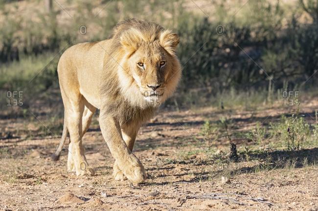 Botswana- Kgalagadi Transfrontier Park- lion- Panthera leo- walking