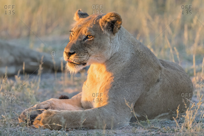Botswana- Kgalagadi Transfrontier Park- lioness- Panthera leo- in the evening light