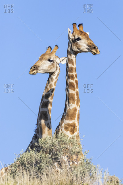 Africa- Botswana- Kgalagadi Transfrontier Park- Giraffes