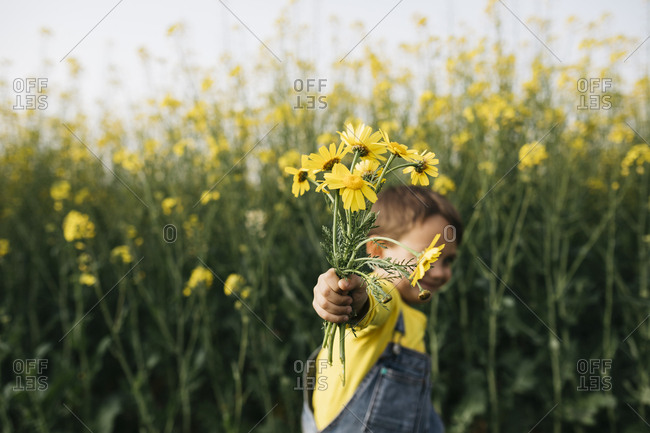 Little boy\'s hand holding picked yellow flowers in front of rape field