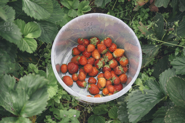 Harvested strawberries in plastic bowl