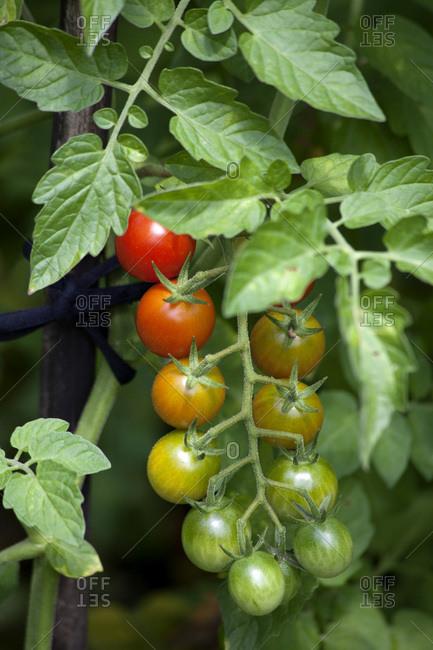 Organic bunch tomatoes