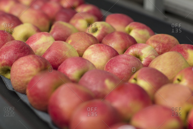 Apples in factory on conveyor belt
