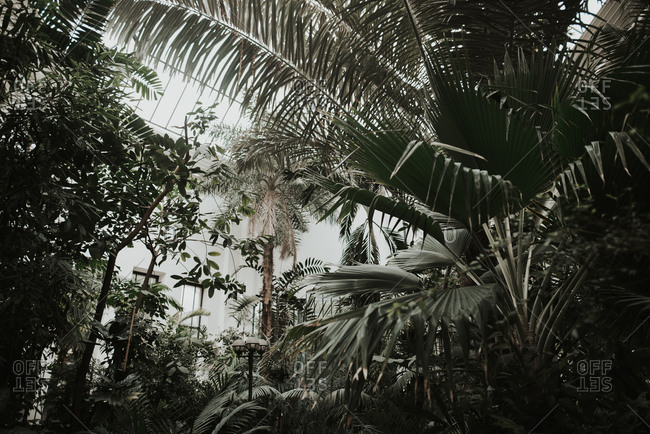 Palm fronds and tropical plants growing in conservatory greenhouse