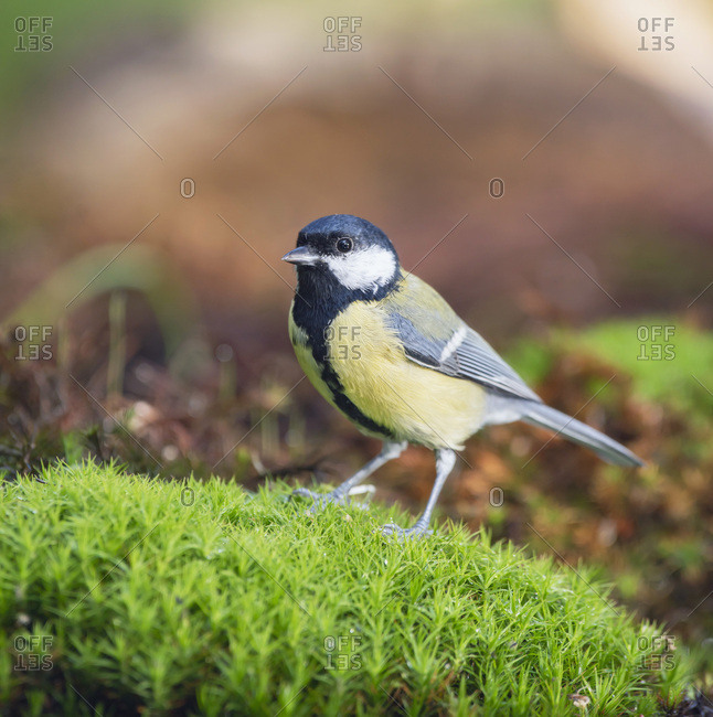 Close up of a great tit