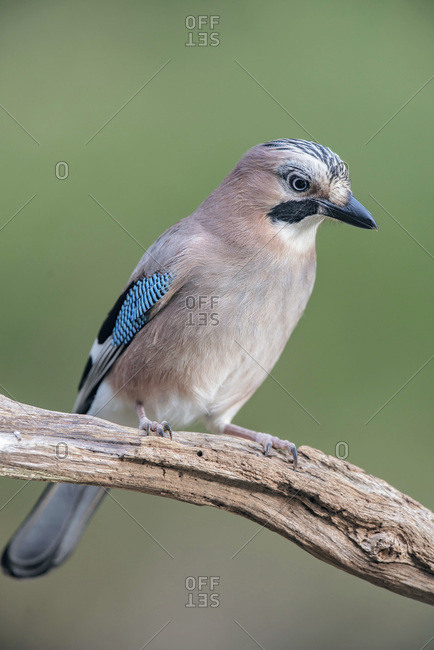 Jay bird perched on a branch