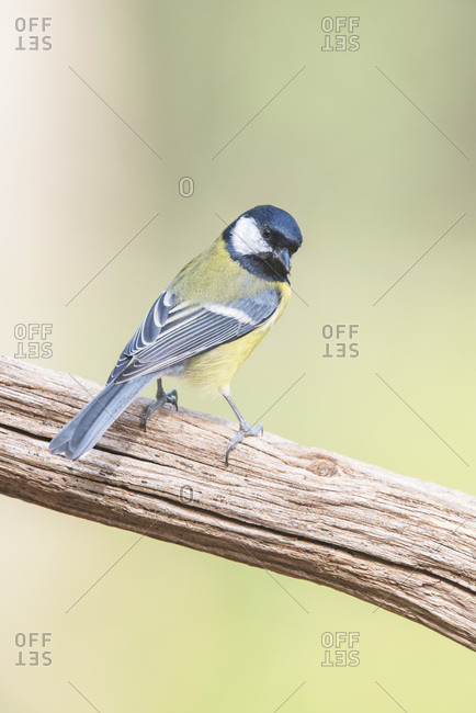 Beautiful great tit on a branch