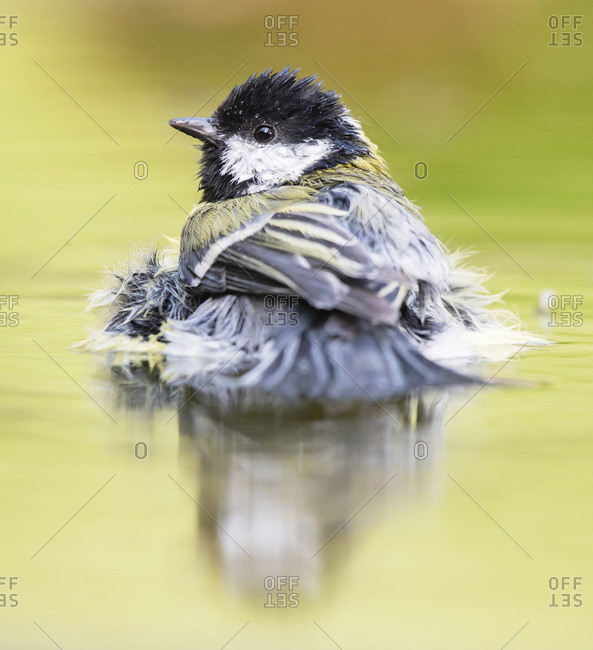 Great tit bathing in water