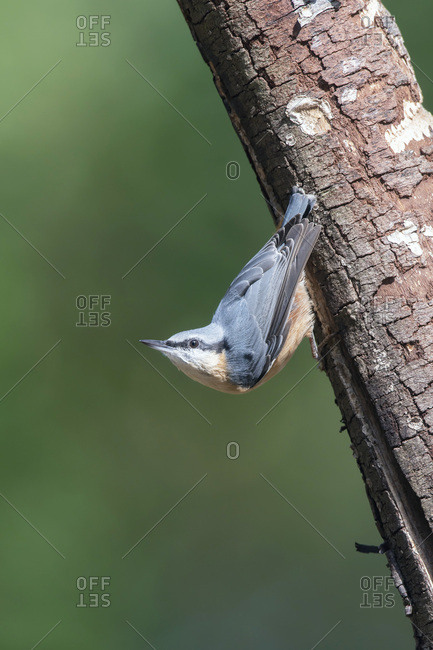 Red-breasted nuthatch on a tree
