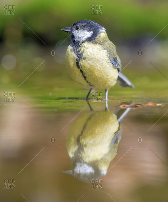 Great tit reflecting in water