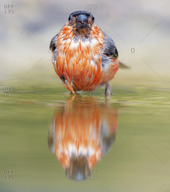 Bullfinch reflecting in water