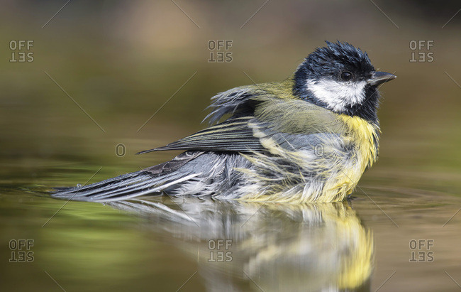 Great tit bathing in a pond