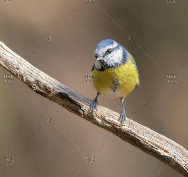 Great tit bird perched on a branch