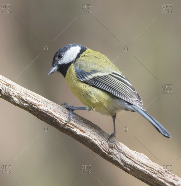 Profile view of a great tit bird on a branch