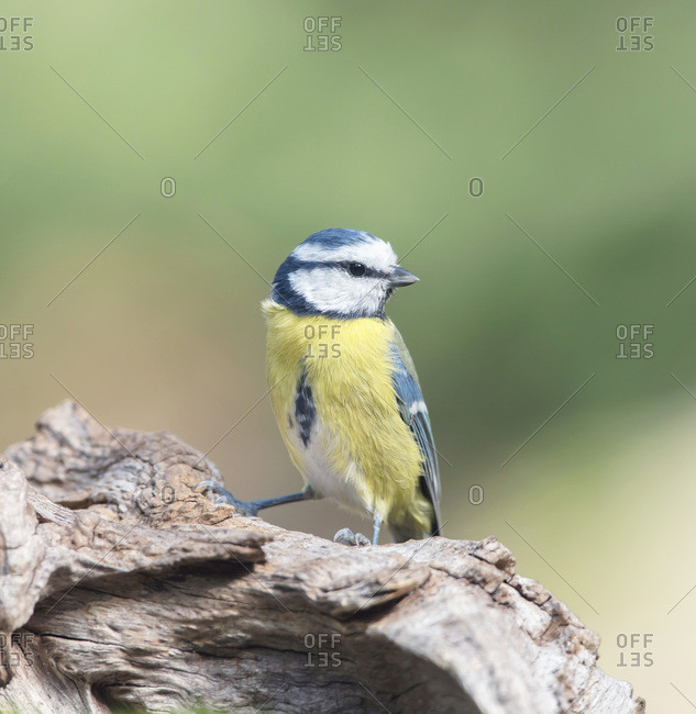 Great tit bird on a tree