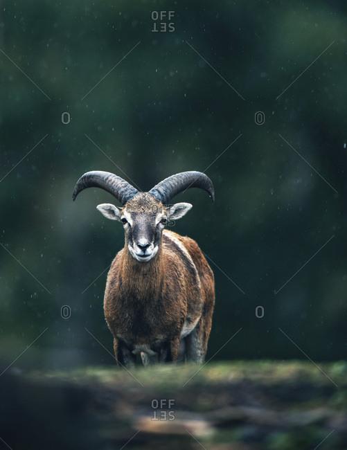 European mouflon in the wild