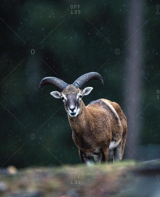 European mouflon in the rain