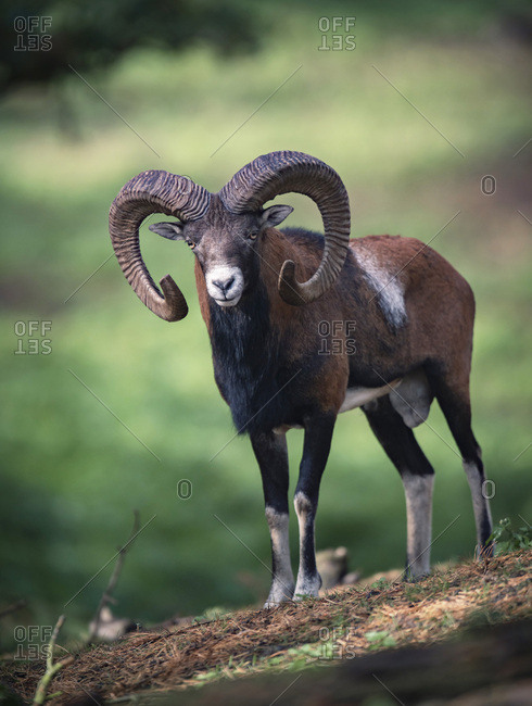 European mouflon with large curled horns