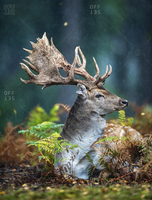 Male fallow deer with large antlers resting