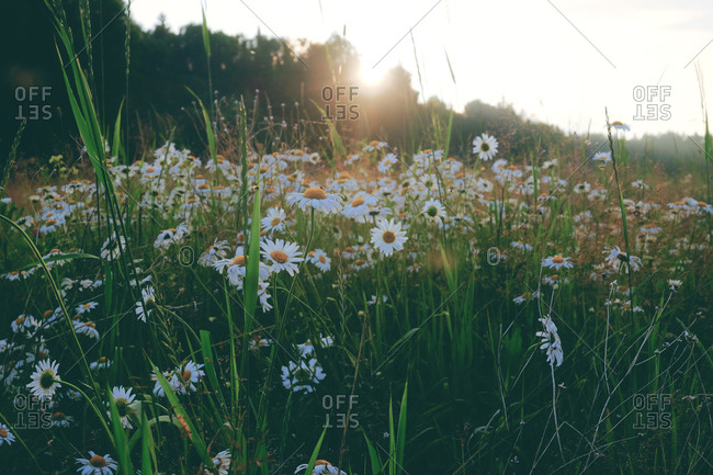 Wildflowers in a field at sunset