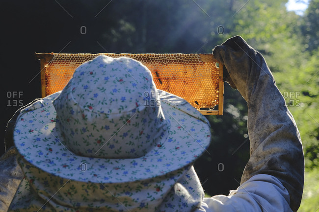 Rear view of beekeeper holding up a frame from a beehive