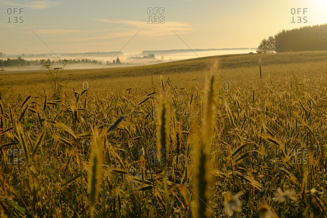Wheat field with fog in the distance