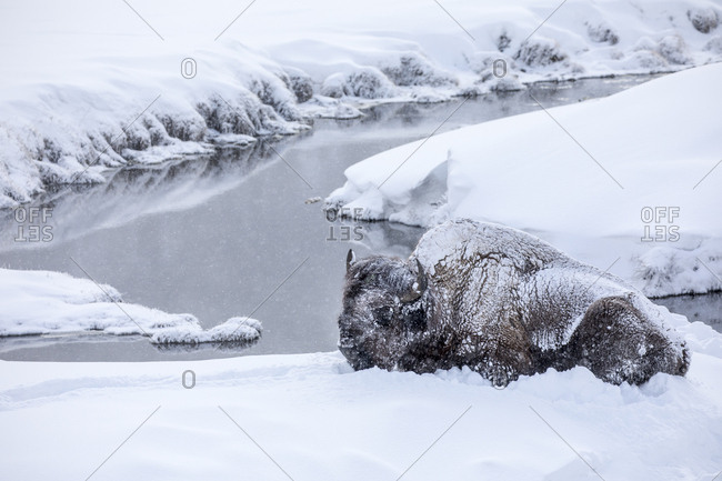 Buffalo Resting in Snow Near Creek During Yellowstone Snow Storm