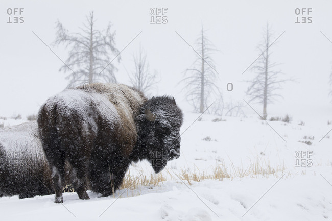 Buffalo Herd Riding Out Snow Storm in Yellowstone