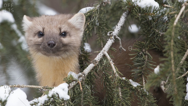 Pine Martin Weasel Assessing the Situation in Snow Covered Cooke City, MT