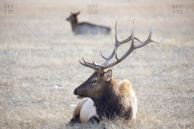 Male Elk Resting in Field in National Elk Refuge in Jackson, WY