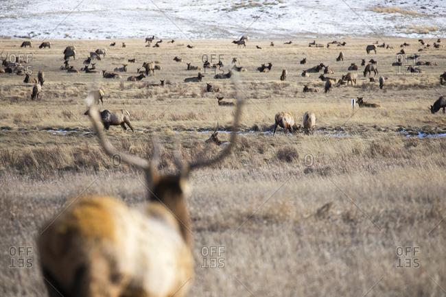 Elk Herd Grazes Fields of National Elk Refuge in Jackson, WY