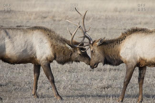 Elk Bucks Fight for Dominance in National Elk Refuge in Jackson, WY