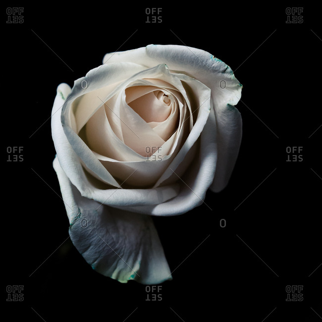 Blooming white rose