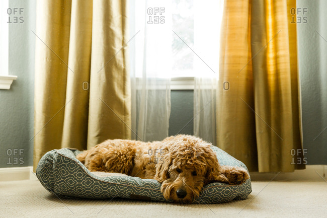 Dog resting on pet bed