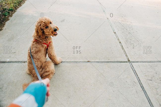 Goldendoodle sitting on sidewalk looking up at person