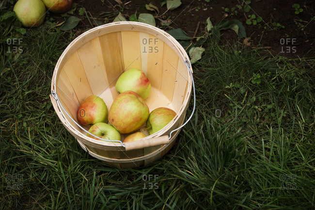 Freshly picked apples in a bucket at an apple orchard