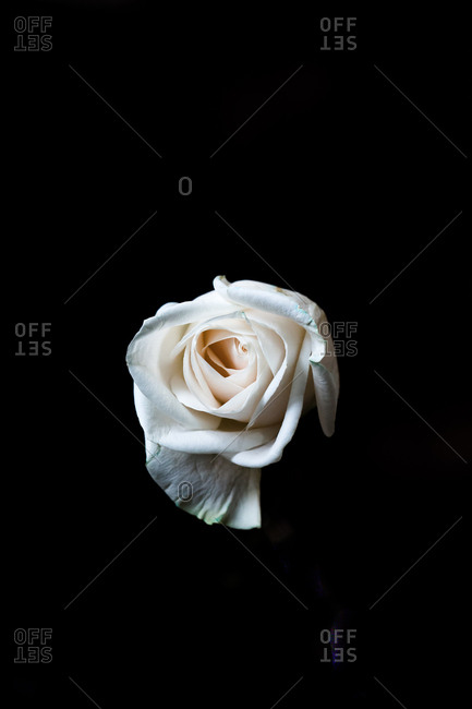 Single blooming white rose on black background