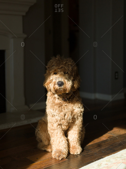 Golden doodle sitting on the floor in the sunlight